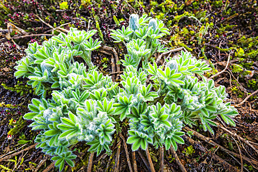 Lupine (Lupinus Nootkatensis) shoots and buds, Chugach National Forest, Kenai Peninsula, South-central Alaska in springtime; Seward, Alaska, United States of America