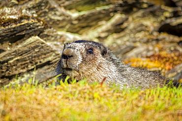 Close-up of a Hoary Marmot (Marmota caligata), Chugach National Forest, Kenai Peninsula, South-central Alaska in springtime; Seward, Alaska, United States of America
