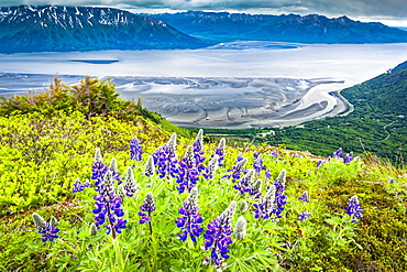 Nootka Lupine (Lupinus Nootkatensis) blooming at Bird Ridge. Turnagain Arm of Cook Inlet is in the background, Chugach State Park, South-central Alaska; Alaska, United States of America