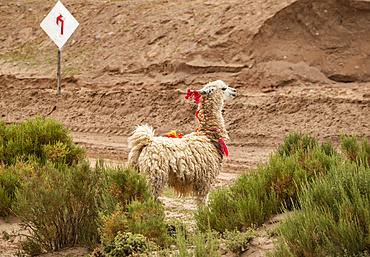 Llama (Lama glama) standing at a roadside with decorative tassels; Nor Lipez Province, Potosi Department, Bolivia