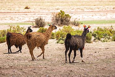 Three llamas (Lama glama) walking with decorative tassels; Nor Lipez Province, Potosi Department, Bolivia