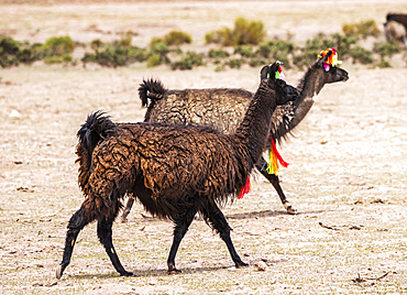Two llamas (Lama glama) walking with decorative tassels; Nor Lipez Province, Potosi Department, Bolivia