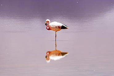 Flamingo standing on one leg in Laguna Colorada, Eduardo Avaroa National Park; Potosi Department, Bolivia