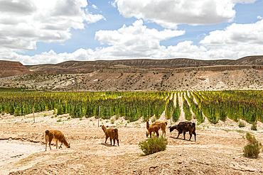 Llamas (Lama glama) grazing on a quinoa plantation; Nor Lipez Province, Potosi Department, Bolivia