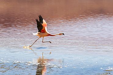 Flamingo running on Laguna Colorada, Eduardo Avaroa National Park; Potosi Department, Bolivia