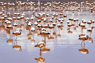 Flamingos on Laguna Colorada, Eduardo Avaroa National Park; Potosi Department, Bolivia