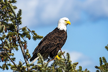 Bald Eagle (Haliaeetus leucocephalus) in an evergreen tree; Marrowstone Island, Washington, United States of America