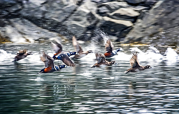Harlequin ducks (Histrionicus histrionicus) take to flight in Little Tutka Bay, on the South side of Kachemak Bay, near Homer; Alaska, United States of America
