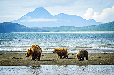 Bear (Ursus arctos) viewing at Hallo Bay Camp. A sow and her two cubs hunt for clams while awaiting the arrival of salmon to local streams; Alaska, United States of America