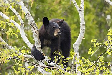Black bear cub (Ursus americanus) in a tree looking out; Quebec, Canada