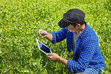 Farmer crouching in a pea field using a tablet and inspecting the yield; Alberta, Canada