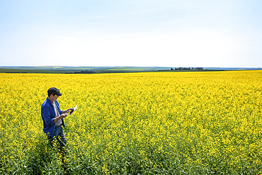 Farmer standing in a canola field using a tablet and inspecting the yield; Alberta, Canada