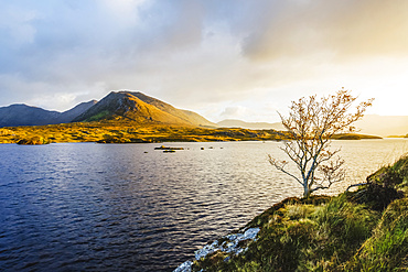 A small bare tree on the banks of Derryclare Lough at sunrise with the Connemara mountains in the distance in winter; Connemara, County Galway, Ireland