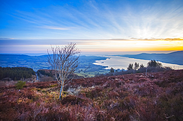 Lone birch tree on a hill surrounded with heather over looking a lake at sunrise; Killaloe, County Clare, Ireland