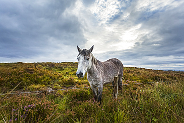 White Irish horse in a boggy field with heather on a cloudy day; Scariff, County Clare, Ireland