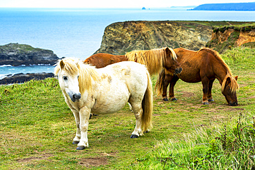 Horses on grassy meadow with rocky cliff shoreline in the background; Cornwall County, England