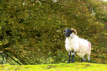 A solitary ram on a grassy hill with trees in the background; Cornwall County, England
