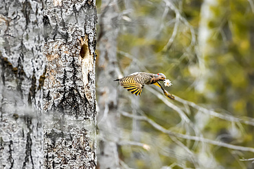 Norther flicker (Colaptes auratus) leaving the nest with wood chips in it's mouth, Forillon National Park; Quebec, Canada