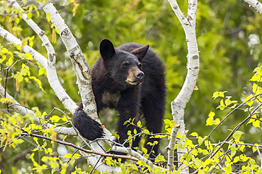 Black bear cub (Ursus americanus) looking out from a tree; Quebec, Canada
