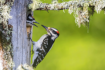 Hairy woodpecker (Leuconotopicus villosus) feeding it's young at the nest hole, La Mauricie National Park; Quebec, Canada