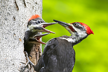 Pileated woodpecker (Dryocopus pileatus) feeding it's young at the nest hole, La Mauricie National Park; Quebec, Canada