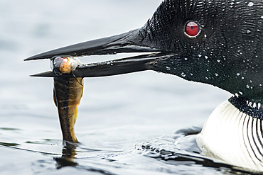 Adult common loon (Gavia immer) holding a small trout in his bill, La Mauricie National Park; Quebec, Canada