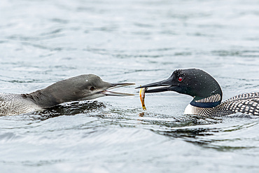 Adult common loon (Gavia immer) feeding his young with a small trout, La Mauricie National Park; Quebec, Canada