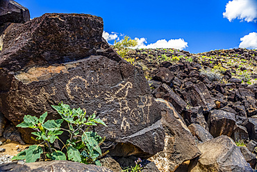 Petroglyphs on volcanic rock surrounded by sagebrush in Piedras Marcadas Canyon, Petroglyph National Monument on a sunny, spring afternoon; Albuquerque, New Mexico, United States of America