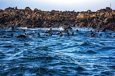 Fur Seals (Arctocephalus pusillus pusillus) in the Atlantic Ocean off the coast of South Africa; Cape Peninsula, Western Cape, South Africa