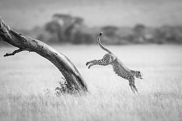 A male cheetah (Acinonyx jubatus) jumps down from the diagonal trunk of a tree. He has brown fur covered with black spots, and in the background can be seen a line of trees, Serengeti National Park; Mara Region, Tanzania