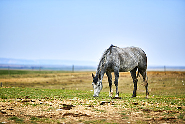 A grey horse eating in a pasture with straw on the ground, an open blue sky behind and a fence line on the horizon; Eastend, Saskatchewan, Canada
