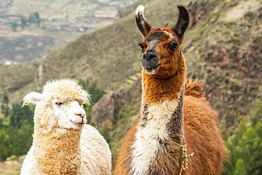 Two Llamas (Lama glama) side by side looking at the camera; Pisac, Cusco, Peru