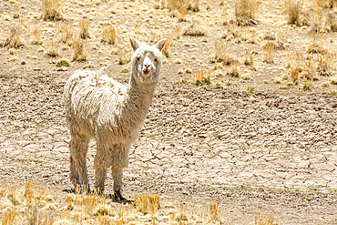 White alpaca (Vicugna pacos) looking at the camera; Peru