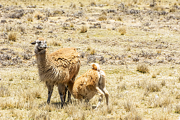Baby alpaca (Vicugna pacos) feeding from its mother in the wild; Peru