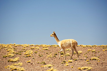 Guanaco (Lama guanicoe) walking from right to left against blue sky in the desert; Atacama, Chile