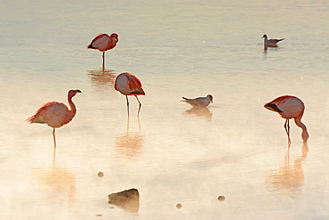 Pink Andean flamingos (Phoenicoparrus andinus) in early morning light and haze; Potosi, Bolivia