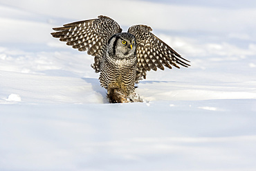 Hawk owl (Surnia ulula) with a muskrat (Ondatra zibethicus) in it's claws while sitting in the snow in winter; Quebec, Canada