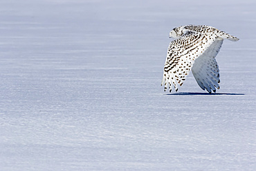 Snowy owl (Bubo scandiacus) in flight at ground level over snow; Quebec, Canada