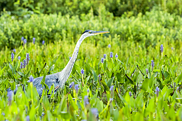 Great blue heron (Ardea herodias) standing and watching in a patch of pickerelweed plants (Pontederia cordata), La Mauricie National Park; Quebec, Canada