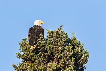 Bald eagle (Haliaeetus leucocephalus) perched at top of coniferous tree; Quebec, Canada