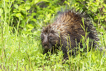 North American porcupine (Erethizon dorsatum) watching in vegetation on a lakeshore, Forillon National Park; Quebec, Canada