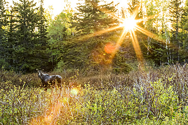 Young bull moose (Alces americanus) standing at sunrise in a meadow and looking towards the camera, Forillon National Park; Quebec, Canada