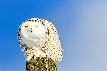 Snowy Owl (Bubo scandiacus) female perched on a post against a blue sky looking out; Quebec, Canada