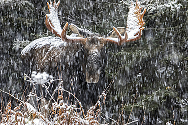 An old bull moose (Alces americanus) with huge antlers stands and watches under a snowstorm at the forest edge in winter, Gaspesie National Park; Quebec, Canada