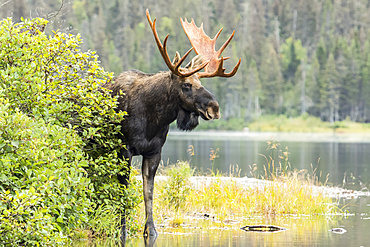 Dominant bull moose (Alces americanus) standing on a lakeshore during the rut and watching, Gaspesie National Park; Quebec, Canada