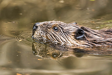North American beaver (Castor canadensis) swimming in a lake, La Mauricie National Park; Quebec, Canada