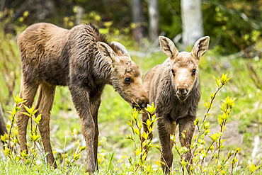 One month old moose calves (Alces americanus) standing in grass and watching, Forillon National Park; Quebec, Canada