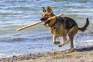 German shepherd running on the seashore with a wooden stick in the mouth; Sainte-Anne-des-Monts, Quebec, Canada