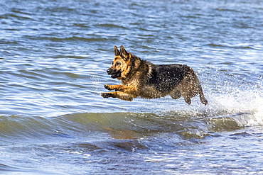 German shepherd running and jumping on the seashore; Sainte-Anne-des-Monts, Quebec, Canada
