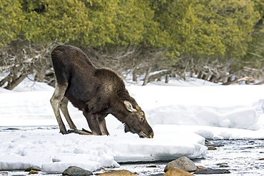 A ten month old bull moose (Alces americanus) kneels in the snow and eats snow, Gaspesie National Park; Quebec, Canada